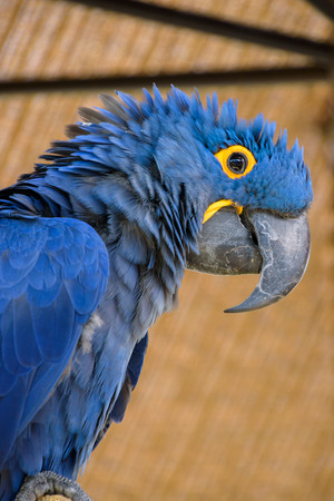 Closeup of a vibrant blue Hyacinth Macaw Stock Photo
