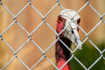 Closeup of a Sarus Crane looking through a chain link fence