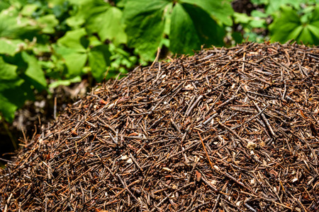 anthill: Anthill in the woods surrounded by vanilla leaf plants Stock Photo