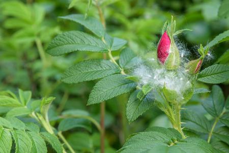 Closeup of cottonwood fluff caught on a rose bush Banco de Imagens