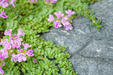 Creeping thyme with pink flowers over a blue gray stone, as a background Stock Photo