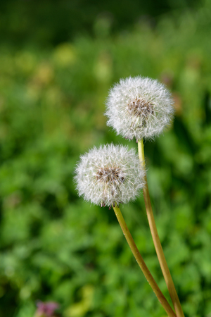 Closeup of two dandelions in full seed
