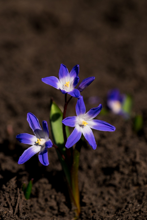 Close up of a Glory-of-the-Snow blooming in a bed of fresh mulch Stock Photo