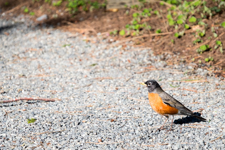 American Robin on a gravel garden path in the spring
