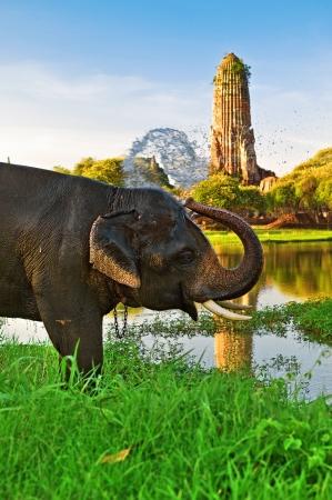 thai elephant: Elephant bathing in Ayutthaya, Thailand