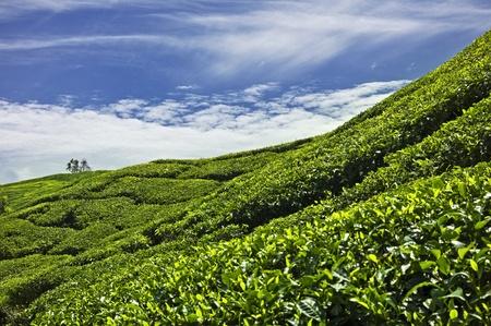 cameron:  Descripción:  Tea plantation in Cameron Highlands, Malaysia Stock Photo