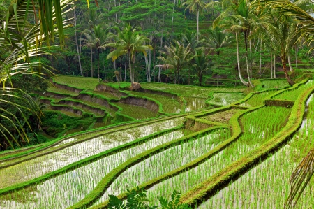 Rice field terrace in Bali, Indonesia photo