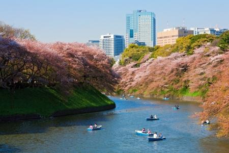 tokyo japan: Kitanomaru Koen during cherry blossom season, Tokyo, Japan