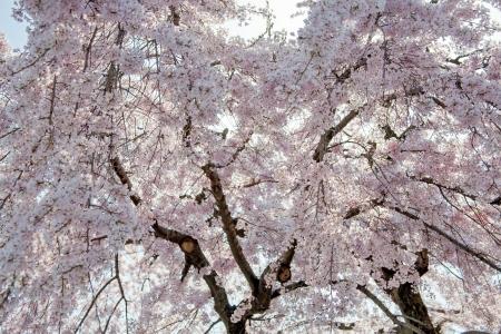 nara park: Beautiful cherry blossom sakura tree during Hanami season in Japan Stock Photo