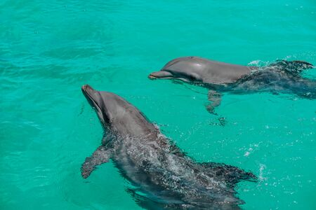 two dolphins are playing in the natural environment, in the ocean. Wildlife Foto de archivo - 132262881