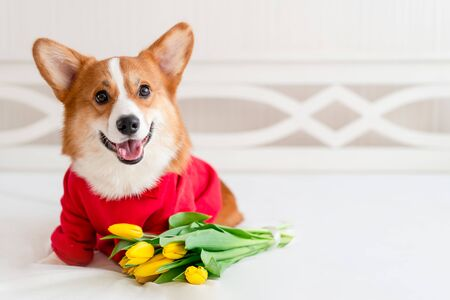 Cute corgi dog in stylish red bomber jacket sit near tulip flowers. Concept pet fashion, mothers day, valentines day, the 8th of march. Indoor