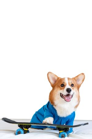 Cute corgi dog in stylish blue bomber jacket stay on the skateboard and show his tongue. Pet fashion