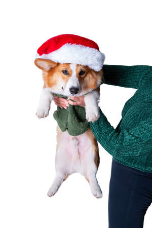 Portrait of the little funny puppy corgi in red santa claus cap, standing in studio isolated on white background 스톡 콘텐츠
