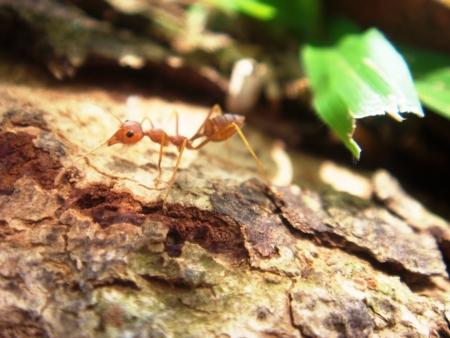 red ant: Una hormiga roja en la selva Foto de archivo