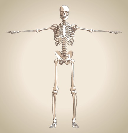 patella: The human skeleton on the gradient background. Vector Illustration