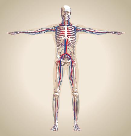 Sistema humano (varón) circulatorio y el sistema nervioso. Esquema también contiene la imagen del esqueleto y el cuerpo. Ilustración vectorial