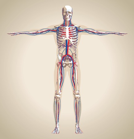 Human (male) circulatory system and nervous system. Scheme also contain image of the skeleton and body. Vector illustration