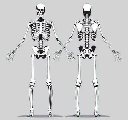 Front and back view of a human skeleton (male) on the gray background. Vector Illustration
