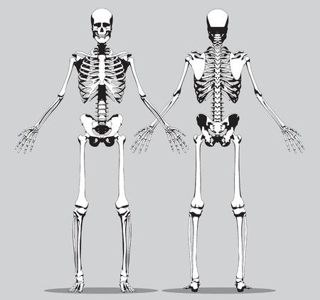 Vorder- Und Rückansicht Eines Menschlichen Skeletts (männlich) Auf ...