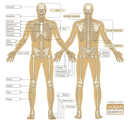 skeleton: A diagram of the human skeleton with titled main parts of the skeletal system. Vector illustration