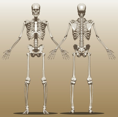 Vista frontal y posterior de un esqueleto humano (varón). Ilustración vectorial