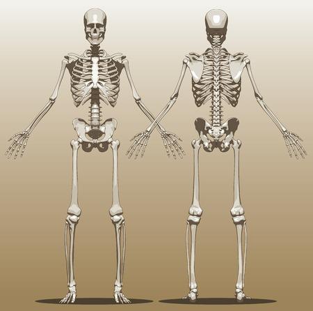 human skeleton: Vista frontal y posterior de un esqueleto humano (varón). Ilustración vectorial Vectores
