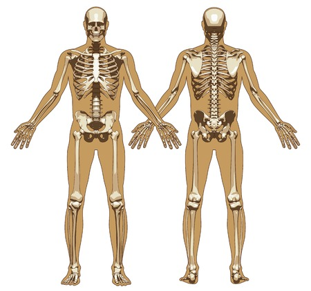 Human skeleton on flat body background. Front and back view. Vector illustration Ilustração