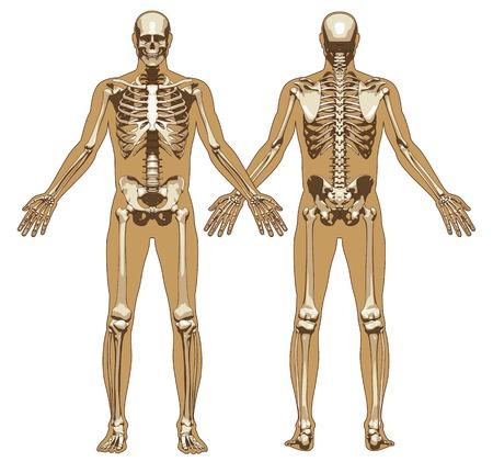 corpo umano: Scheletro umano su piano del corpo di fondo. Anteriore e posteriore. Illustrazione vettoriale