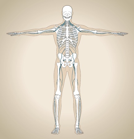 shin bone: The human (male) nervous system with skeleton and silhouette of body. Vector illustration