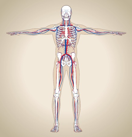 Human (male) circulatory system. Scheme also contain image of the skeleton and body. Vector illustration Ilustracja