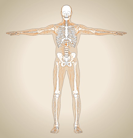 forearm: Human (male) lymphatic system. Scheme also contain image of the skeleton and body. Vector illustration