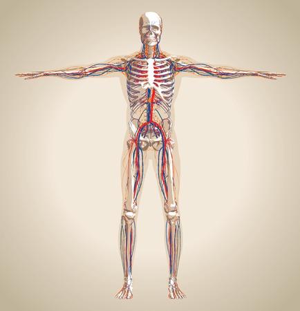 Sistema humano (varón) circulatorio, el sistema nervioso y el sistema linfático. Esquema también contiene la imagen del esqueleto y el cuerpo. Ilustración vectorial