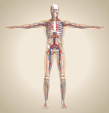 Human (male) circulatory system, nervous system and lymphatic system. Scheme also contain image of the skeleton and body. Vector illustration