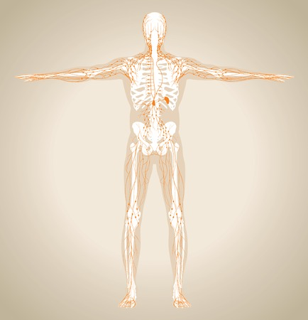 patella: Human (male) lymphatic system. Scheme also contain image of the skeleton and body. Vector illustration