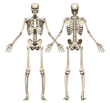 Een menselijk skelet. Voor- en achterkant weergave geïsoleerd op een witte achtergrond. Vector illustratie