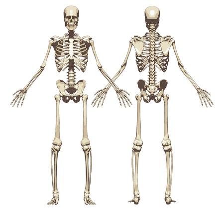 Ludzki szkielet. Z przodu i wstecz widoku samodzielnie na białym tle. Ilustracji wektorowych