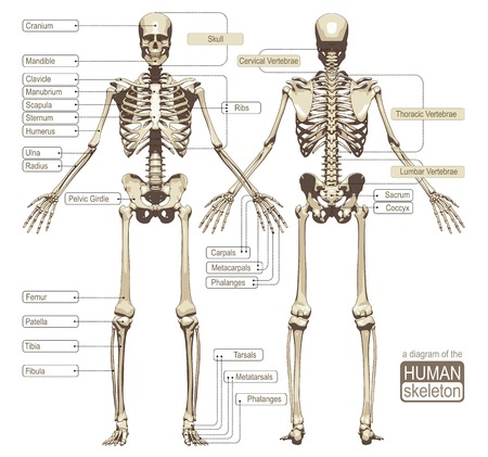 skeleton skull: A diagram of the human skeleton with titled main parts of the skeletal system. Vector illustration