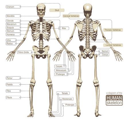 Un diagrama del esqueleto humano con las principales partes tituladas del sistema esquelético. Ilustración vectorial