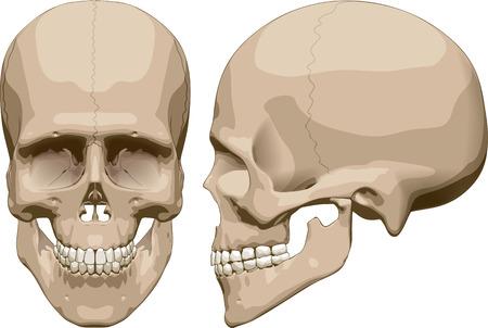 人間の頭蓋骨 (男性) の正面と側面のビュー。ベクトル図