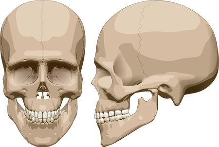 Front and side view of human skull (male). Vector illustration Ilustração