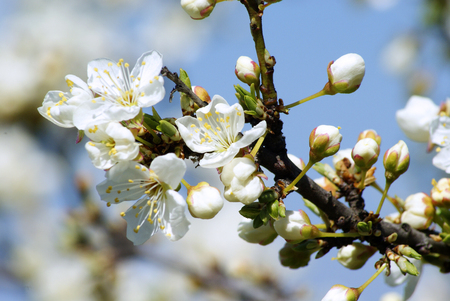 Spring flower of a fruit tree on a blue sky background