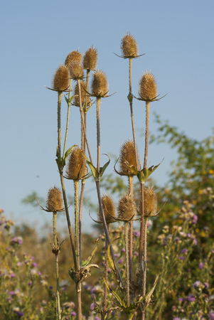 Wild teasel (Dipsacus) with dried heads