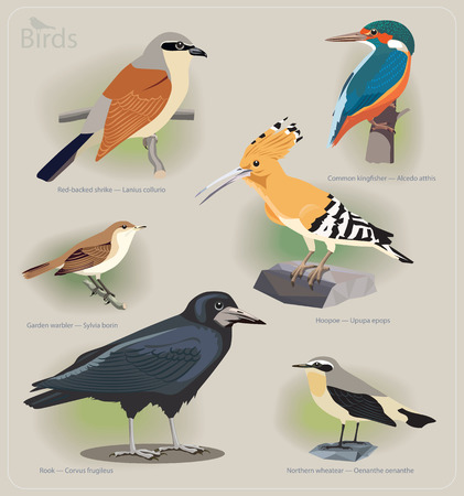 ornithological: Image set of birds: red-backed shrike, common kingfisher, garden warbler, hoopoe, rook, northern wheatear. Vector illustration Illustration