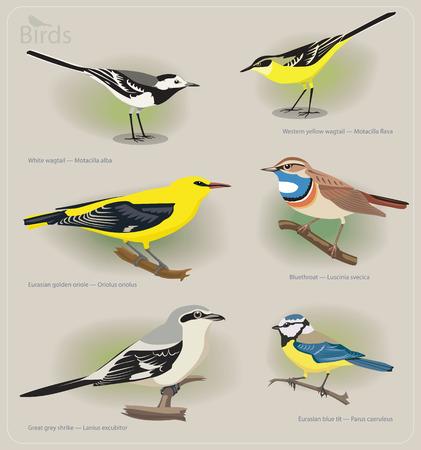 ornithological: Image set of birds: white wagtail, yellow wagtail, golden oriole, bluethroat, grey shrike, blue tit. Vector illustration Illustration