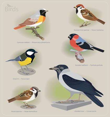 ornithological: Image set of birds: common redstart, sparrow, great tit, bullfinch, hooded crow. Vector illustration