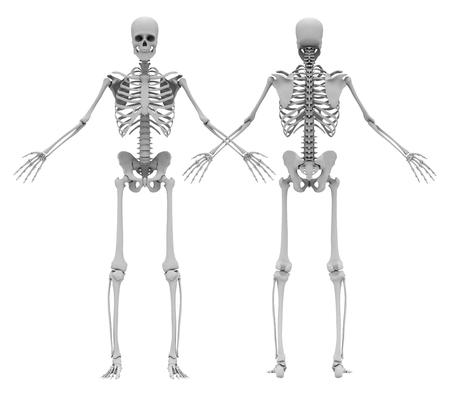 人間の (男性) の骨格です。前面と背面ビュー。イメージは、白い背景で隔離。3 D イラストレーション