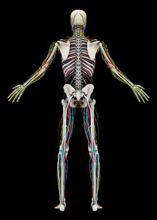 人間の (男性) スケルトンと循環、リンパ、神経系。背面図。黒の背景に分離された画像。3 D イラストレーション