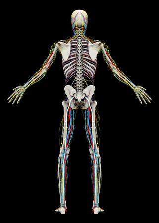 Human's (male) skeleton and circulatory, lymphatic, nervous systems. Back view. Image isolated on a black background. 3D illustration