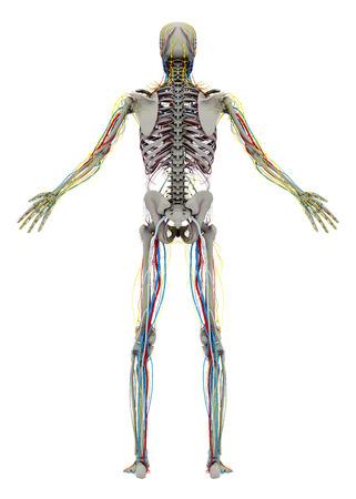 人間の (男性) スケルトンと循環、リンパ、神経系。背面図。イメージは、白い背景で隔離。3 D イラストレーション