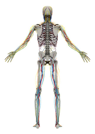 Human's (male) skeleton and circulatory, lymphatic, nervous systems. Back view. Image isolated on a white background. 3D illustration